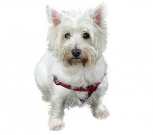westhifhland-terrier-361525_640